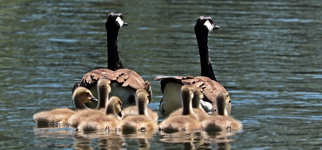 family of geese on water