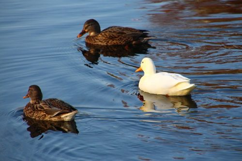 2 dark and 1 white duck on water